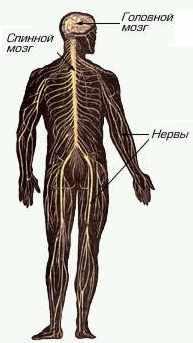 Головной и спинной мозг составляют центральную нервную систему, а периферическая нервная система.